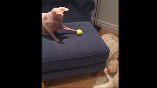 Cat and dog play fetch together