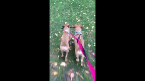 Puppy best friends preciously carry stick together