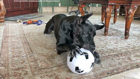 Funny Great Dane Loves To Nibble On Her Soccer Ball