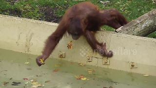 Orangutan youngster fishes autumn leaves from pond to eat
