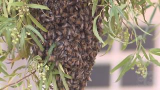 Bee swarm terrifies North Las Vegas couple - Video