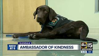 A Glendale therapy dog is training to be an