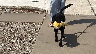 This Pooch Would Not Part From Her Favorite Stuffed Animal Even For A Walk - Video