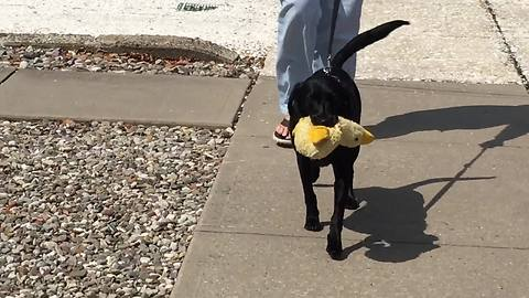 This Pooch Would Not Part From Her Favorite Stuffed Animal Even For A Walk