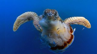 Hungry sea turtle chomps down on Jellyfish dinner - Video