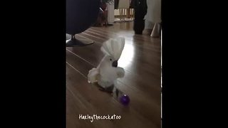 Harley the Cockatoo Takes a Penalty and Scores - Video