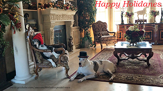 Festive Great Danes sport their awesome Christmas hats
