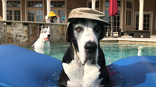 Hat-wearing Great Dane chills out in pool - Video