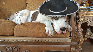 Great Dane takes siesta wearing sombrero