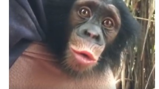 Adorable Baby Chimp Finds His Voice Learning to Communicate With Handlers - Video