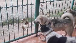 Clever pet husky opens gate in bid for freedom