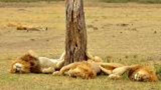 Uganda's African Lion in Danger - Video