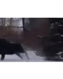 Moose Charges at Man Attempting to Pet it