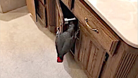Prying parrot goes snooping in bathroom cabinets