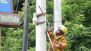 Tiny Sloth Rescued From Telephone Pole In Costa Rica - Video