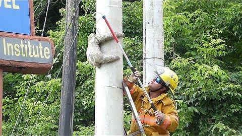 Tiny Sloth Rescued From Telephone Pole In Costa Rica