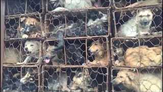 Activists Rescue Nearly 1,000 Dogs and Cats Headed to Slaughterhouses in Southern China - Video