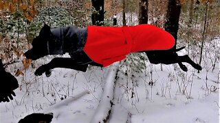 Sheer joy for Great Dane puppy galloping in snowy forest