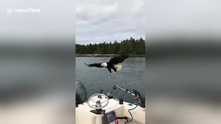 Eagle Majestically Picks Up Meal From Boat In Slow-Motion - Video