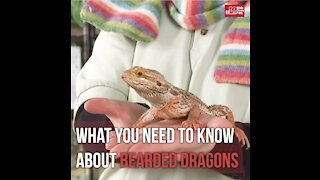 What You Need To Know About Bearded Dragons