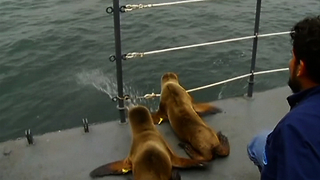 Rescued Sea Lions Go Home