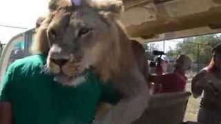 Cuddly Lion Gets Comfortable With Tourists At Taigan Safari Park - Video