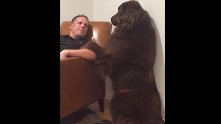 Giant Newfoundland demands attention from owner - Video