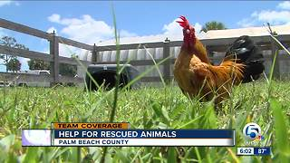 Seized chickens now with Palm Beach County Animal Care & Control