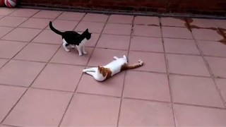 Cat Makes It His Mission to Catch Green Laser - Video