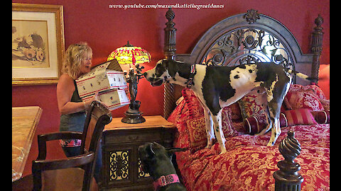 Excited Great Danes Can't Wait to Open Valentine's Day Gifts
