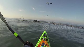 Kayakers and humpback whale witness sea lion feeding frenzy - Video