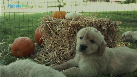 Golden Retriever Puppies Experience Fall for the First Time