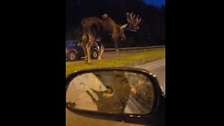 Proud-Looking Moose Walks Down Street - Video
