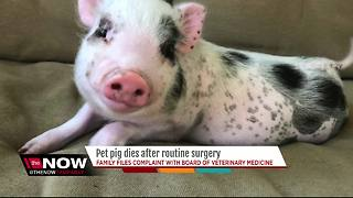 Florida family files complaint with veterinary board after pet pig's gruesome death - Video