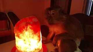 Himalayan Salt Lamp Has Calming Effect on Cooky Monkey - Video