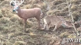 Mountain Lion Catches The Moment Predator Realizes Deer Is Fake, Goes Viral - Video
