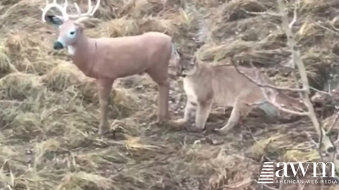 Mountain Lion Catches The Moment Predator Realizes Deer Is Fake, Goes Viral