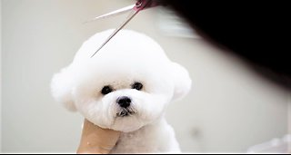 Bichon Frise puppy receives Mickey Mouse haircut