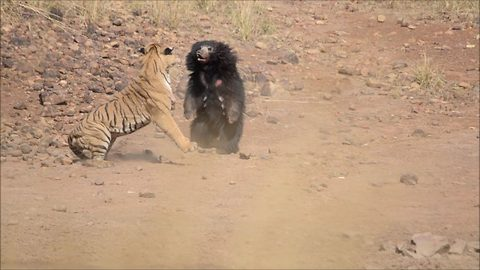 Sloth Bear Chases Away Tiger In Attempt To Save Her Cub