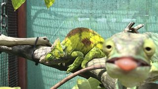 Cheeky Chameleon Photobombs Friend By Sticking Its Tongue Out For The Camera