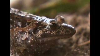 Frog Species Returns From Extinction - Video