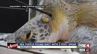 Tips sought to find person responsible for speared sea turtle in the Florida Keys