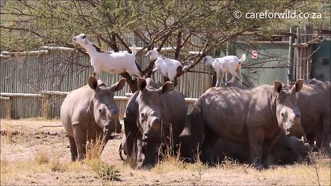 Rhinos and goats have a unique friendship