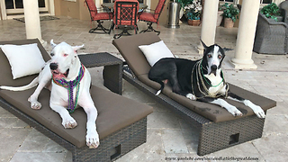 Great Danes Get Ready for Tampa Gasparilla Pirate Party