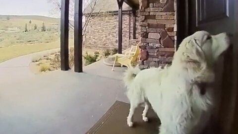 Dog hilariously rings the doorbell to come inside