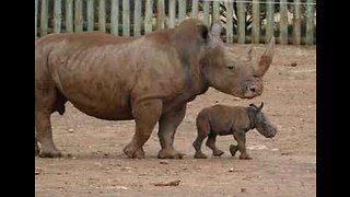 Monarto Zoo Welcomes Baby White Rhino - Video