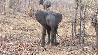 Cute baby elephant tries to intimidate safari group - Video