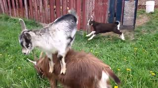 """Goats Having Fun"""