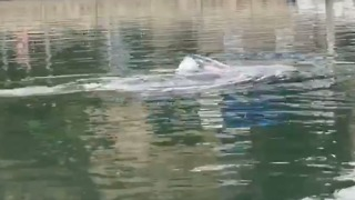 Juvenile Gray Whale Spotted In California Harbor - Video