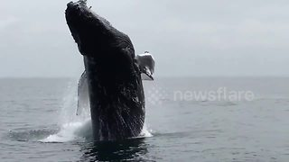 Humpback Whale Throws A Show As It Breaches In Front Of A Tourist Boat - Video